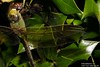 Canon269494 (godrudy6661) Tags: neworleans darktable stclaudeave dragonfly dragonflies dragonflyeating cannibalism macro tamron180mm