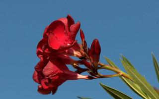Oleander - Oleandro ( Nerium oleander )_010