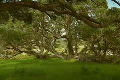 Two? or many Trees? (rosch2012) Tags: meadow pasture tree landscape green grün curious interessant aussergewöhnlich strange fremdartig daylight tageslicht newzealand neuseeland