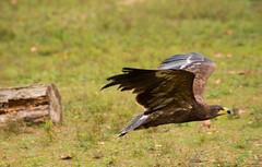 aquila reale (delbio79) Tags: poiana volo rapace predatore ali becco piume avifauna corpo volare testa occhio