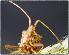 Leptoglossus occidentalis (RKop) Tags: cincinnati ohio raphaelkopanphotography a77mk2 sony tamaron90mmmacro serenestaker