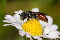Cuckoo Bee (Sphecodes sp.) (The LakeSide) Tags: insect macro netherlands nikon r1c1 d7100