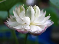 Nelumbo nucifera 'Fen Ling Long 13' Lotus Wahgarden 012 (Klong15 Waterlily) Tags: lotus lotusflower flower pond lotusland landscape smalllotus chineselotus thailandlotus garden wahgarden