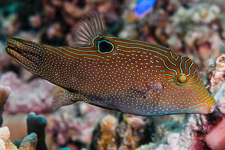 Papuan Toby - Canthigaster papua