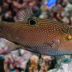 Papuan Toby - Canthigaster papua thumbnail