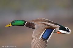 Germano reale _037 (Rolando CRINITI) Tags: germanoreale uccelli uccello birds ornitologia racconigi natura