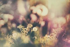 dandelions (www.facebook.com/mbpfotografija) Tags: nature field flowers flower fineart meadow dandelion