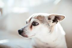 Chicklet (Garen M.) Tags: dogs chip jojo testshots nikond850 cat chicklet maverick nikkor35mmf14 buttercup