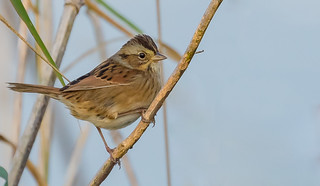 Swamp Sparrow (Melospiza georgiana) - Richmond, BC