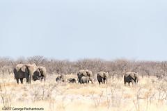 Elephant in Etosha NP, Namibia (George Pachantouris) Tags: namibia etosha caprivi strip safari game nature wilderness lion lioness zebra antelope wildebeest giraffe hippopotamus ostrich elephant rhinocerus bird