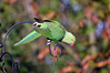 Ring Necked Parakeet (213) (John Carson Essex UK) Tags: thegalaxy thegalaxystars rainbowofnature supersix borntofly