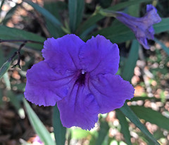 Appreciating Nature's Beauty (soniaadammurray - Off) Tags: iphone flowers quintaflor nature beauty exterior