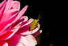 Macro-24652.jpg (CitizenOfSeoul) Tags: deutschland macro bug germany flower wanze garten dahlien sersheim blumen