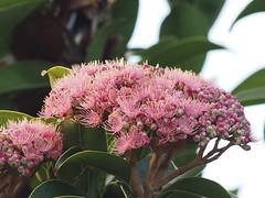 Syzygium buettnerianum (S. glenum) Tags: syzygium syzygiumbuettnerianum myrtaceae newguineasatinash arfp cyrfp sdtropicalarf galleryarf arfflowers pinkarfflowers