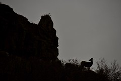 What?! (Chamblin1) Tags: bighornsheep silhouette lowlight landscape wildlife colorado watertoncanyon autumn