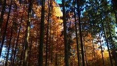 Autumn Trees (Daphne-8) Tags: autumn herbst trees bäume arbres arboles otoño autunno outono árvores colours colors colores farben bomen herfst kleuren