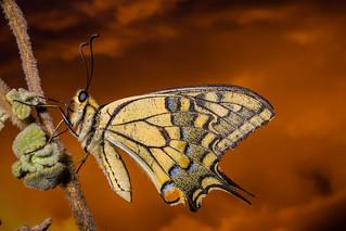 IMG_3428 Macaón (Papilio machaon)