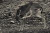 27102017-DSC_0087.jpg (stephan bc) Tags: cazorla reis zoogdieren regioandalucia zwartwit
