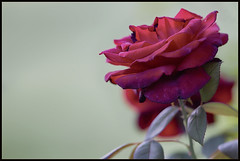 Rosa (maartenappel) Tags: canon kleuren