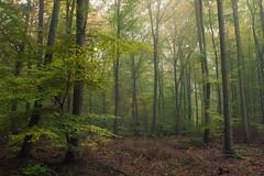 Last Year in Autumn (Netsrak) Tags: baum bäume eu eifel europa europe forst landschaft natur nebel wald fog landscape mist nature tree trees woods