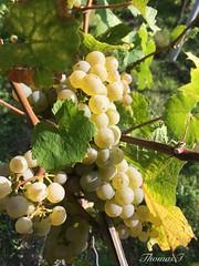 Weinlese (TitusT1960) Tags: traubenernte weinlese neustadtweinstrase grape weinberg pfalz trauben weisetrauben wein