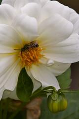 A Bee & a Dahlia 2 (LongInt57) Tags: bee insect bug dahlia flower blossom bloom petals stamens stigma pistil pollen bud leaf leaves nature garden kelowna bc canada okanagan black yellow white green