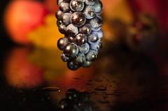 Blue Grape in Gold (Theo Crazzolara) Tags: grape stilllife stillleben autumn fall herbst macro weintrauben wein trauben colour color food foodporn golden fresh natural regent bluegrape rebsorte blaueweintrauben fruits healthy
