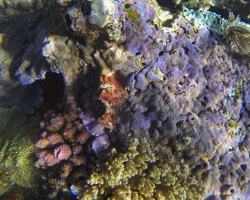 Scorpion fish komodo Batu bolong