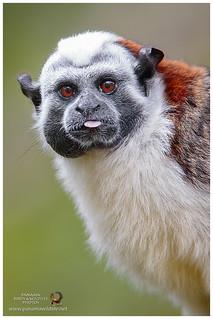Geoffroy's Tamarin / Mono Tamarino, Mono Tití o Saguinus Panameño