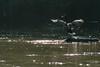 Goose Shakes off Water (Rehwyn) Tags: morning georgia wildlifephotography northamerica bathing bird wing chattahoocheerivernationalrecreationarea atlanta unitedstates river gooseanseranserdomesticus flaps geese