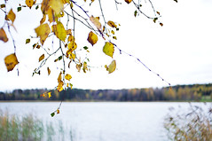 autumn impression (Stefano Rugolo) Tags: stefanorugolo pentax k5 kepcorautowideanglemc28mm128 autumn impression depthoffield fall lake reeds countryside foliage yellow birch hälsingland sweden sverige höst trees lakeside water