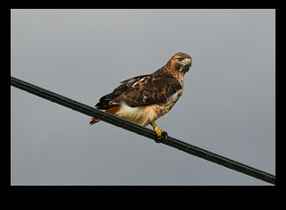 Red-tailed Hawk (0552)