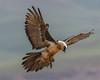 Bearded Vulture (Louis and Marie Helberg) Tags: birds beardedvulture wildlife nature