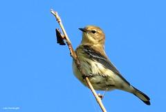Yellow-rumped Warbler (Lois McNaught) Tags: americangoldfinch goldfinch bird avian nature wildlife autumn hamilton ontario canada