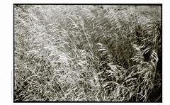 laherbaHØJBG1PANF011expo (Ilia Farniev) Tags: herba laherba iliafarniev organic ilford panf rodinal contax zeiss zm distagon højbjergfiles transitional grass distagont2835 科 relicvia 禪 seaofreeds