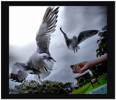 Hand feeding..:D (agphoto100) Tags: birds seagull trees food hand beak bill nex 5 photoshop bird feathers tree feeding agphoto100