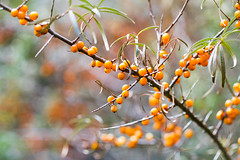 tiny treasures (photalena) Tags: seabuckthorn sanddorn tinytreasuresinflora berries nature flora smileonsaturday