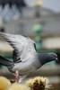 Londen Dove on articoke (peetje2) Tags: londen pigeon dove articoke
