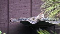 taking a bath :-) (Dotsy McCurly) Tags: bird bath bathe bathing water cute video movie yard nj newjersey nikond750 tamron18400mmf3563 nature beautiful