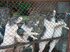 PA224220 (tatsuya.fukata) Tags: thailand samutprakan crocodilefarm animal pig