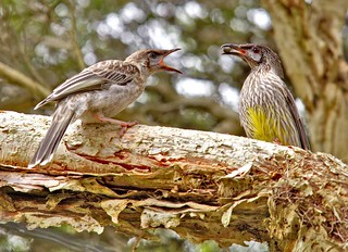 Fledgeling Red Wattlebird being fed by a parent.