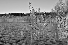 Reeds (Stefano Rugolo) Tags: stefanorugolo pentax k5 smcpentaxm50mmf17 reeds lake lakeside monochrome blackandwhite countryside landscape water ripples hälsingland frägstahälsingegård sweden sverige tree grass