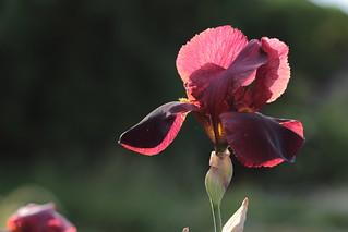 Iris au crépuscule