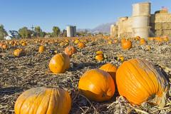 Pick Your Pumpkin (aaronrhawkins) Tags: pumpkin patch hay bales castle fortress farm garden provo utah airport lake halloween fall autumn selection choice pick valley season holiday aaronhawkins