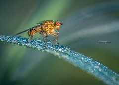 The hunchback of Empel (Ingeborg Ruyken) Tags: dropbox spring sunrise dawn fly flickr ochtend 500pxs 2017 macro zonsopkomst morning lente natuurfotografie strontvlieg vlieg empel yellowdungfly