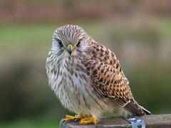 Kestrel 1 (mpb_17) Tags: birds kestrel dartmoor birdofprey