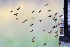 Flying bees (STE) Tags: api bees bee flying volo alveare arnia