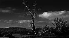 The Lighning Tree (Neil. Moralee) Tags: neilmoraleenikond7200 neilmoralee tree dead lightning dark sinister old vountryside field landscape england herefordshire sky clouds black white bw blackandwhite mono monochrome nikon d7200 neil moralee hills uk lightningtree bolt