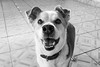Léo (yoshimi_su) Tags: 15anos animaldeestimação diadema léo srd susanyoshimi sãopaulo tricolor cachorro canon70d cão dog fotografia pet photography sp