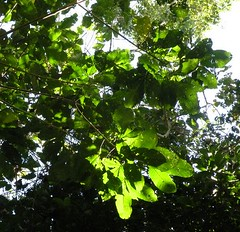 melicope.xanthoxyloides.leaves (dave.kimble) Tags: melicope melicopexanthoxyloides rutaceae yellowevodia arfp cyrfp qrfp tropicalarf lowlandarf uplandarf